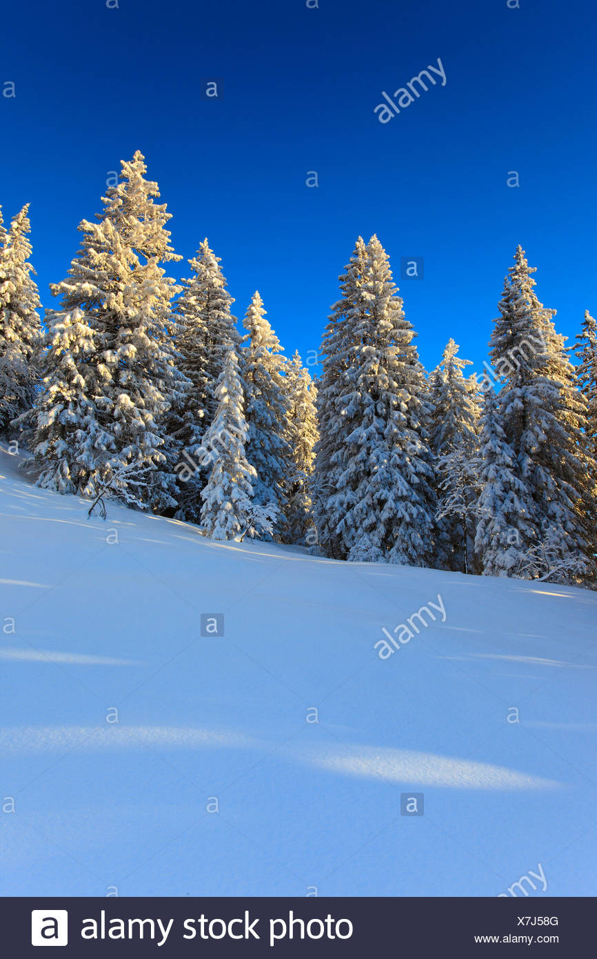 Alps, trees, spruce, spruces, sky, mornings, morning light, snow, Switzerland, Europe, sun, sunshine, fir, firs, wood, forest, w - Stock Image