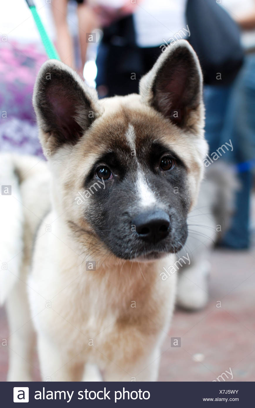 American Akita Puppy A Dog Breed From The Mountainous Northern