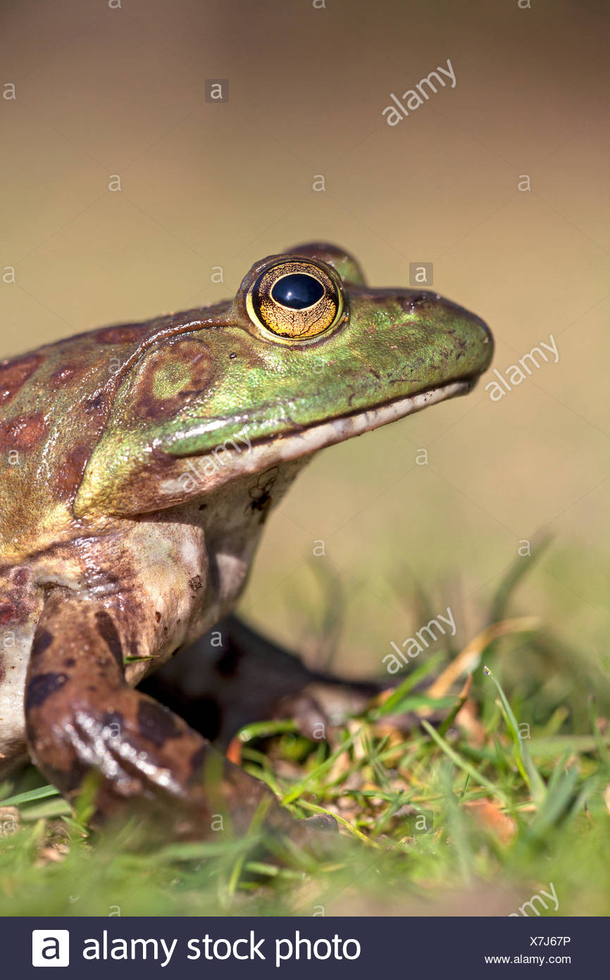 vertical portrait of a North American Bullfrog - Stock Image
