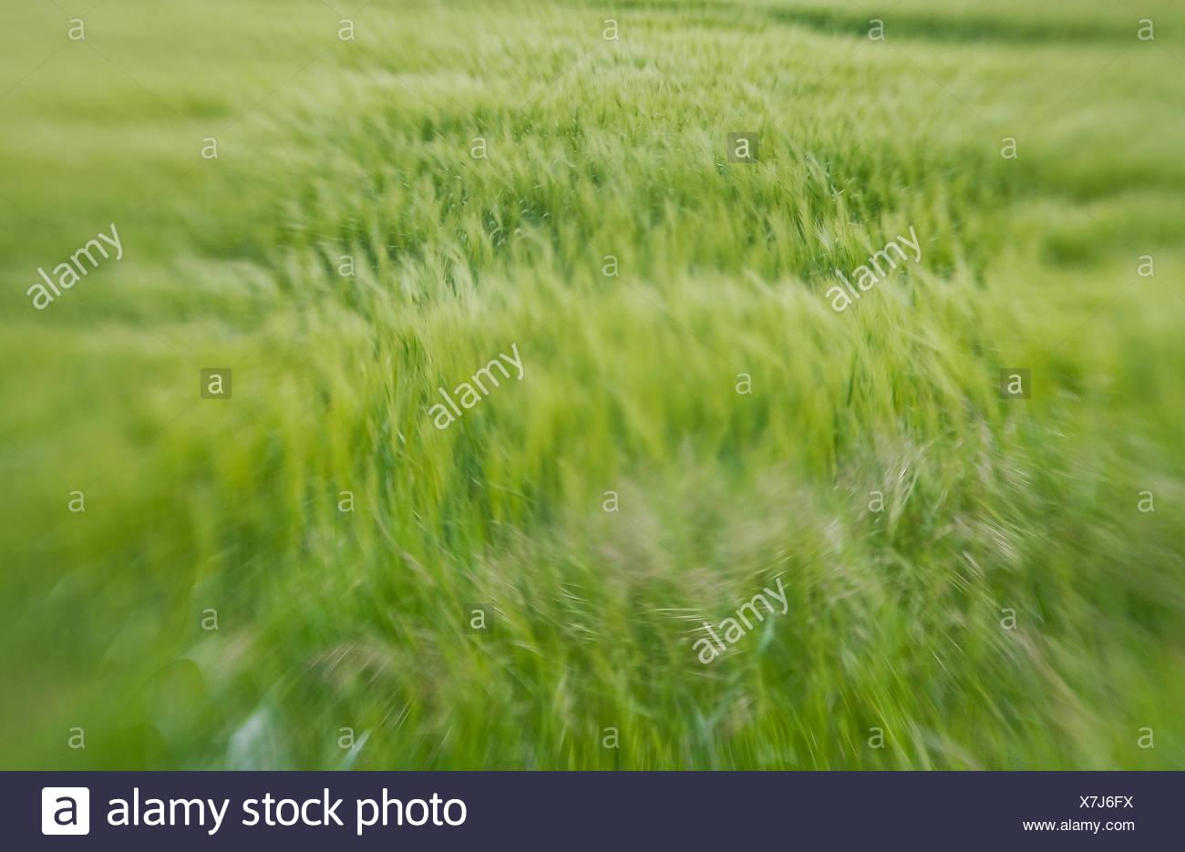 Corny Circles - Stock Image