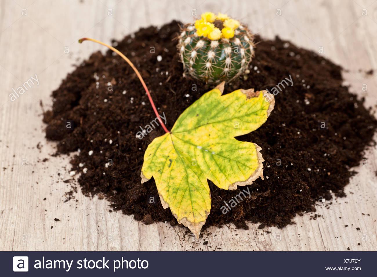 botany, decoration, cactus, maddening, pert, coquettish, cute, garden, ground, - Stock Image