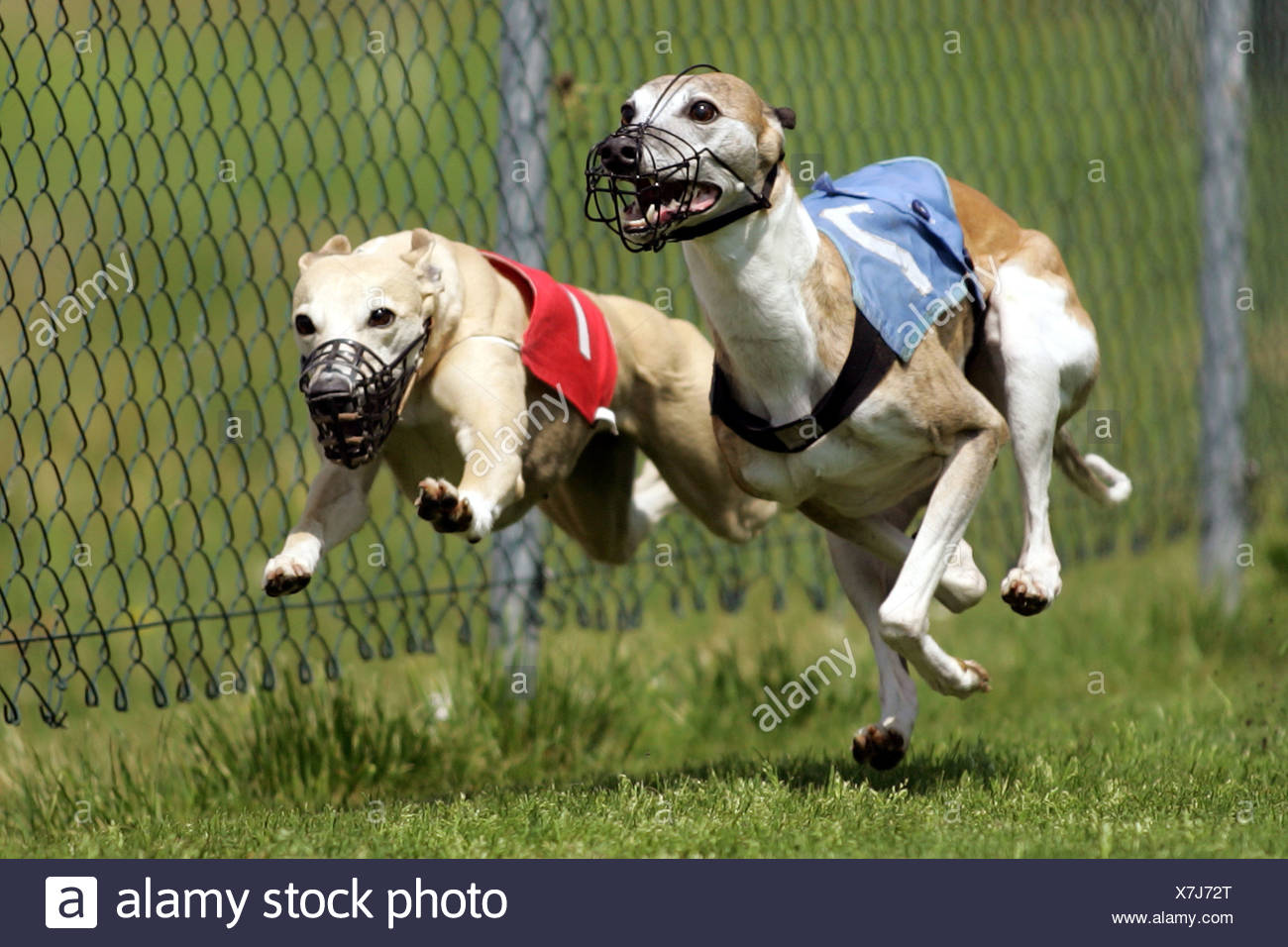 Whippet (Canis lupus f. familiaris), in race, Germany Stock Photo