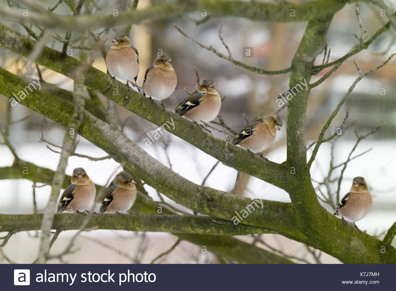 Tree  branches  chaffinches  Fringilla coelebs - Stock Image