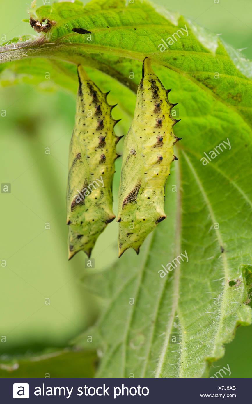 peacock moth, peacock (Inachis io, Nymphalis io), pupas on stingnettle, Germany - Stock Image
