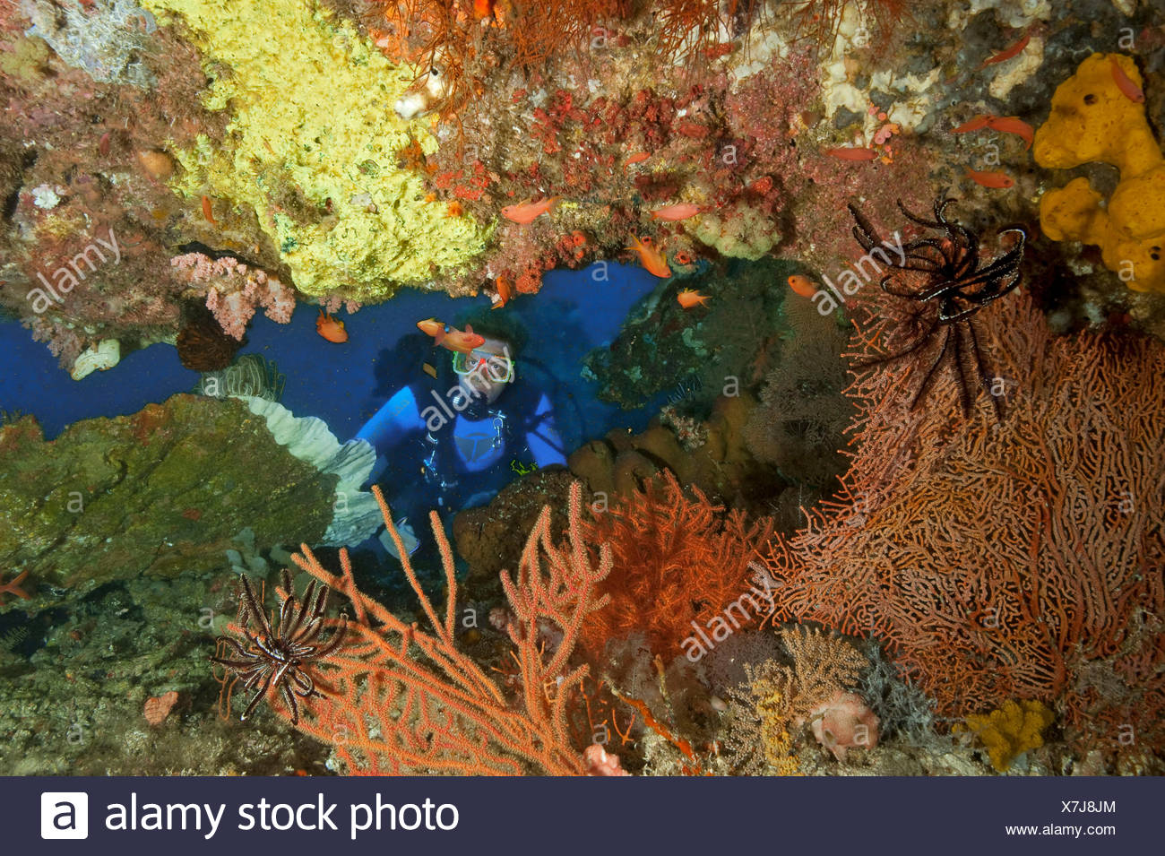 Diver with softcoral, hardcoral, featherstar and anthias, Molukkes, Indonesia, Asia, Pacific / (Cenometra bella), (Pseudanthias squamipinnis) - Stock Image