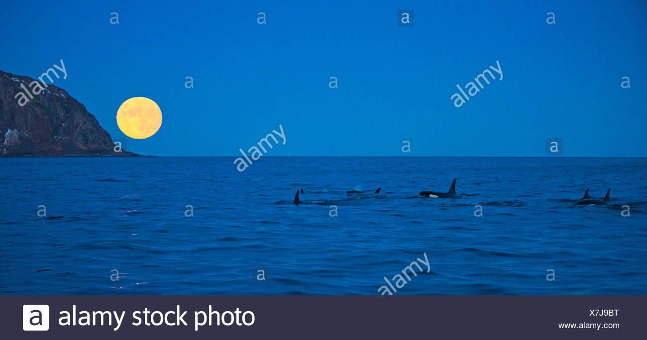 Schwertwal, Killerwal, Orca (Orcinus orca), Gruppe vor aufgehendem Vollmond in der Daemmerung, Norwegen, Troms, Bergsfjorden auf - Stock Image