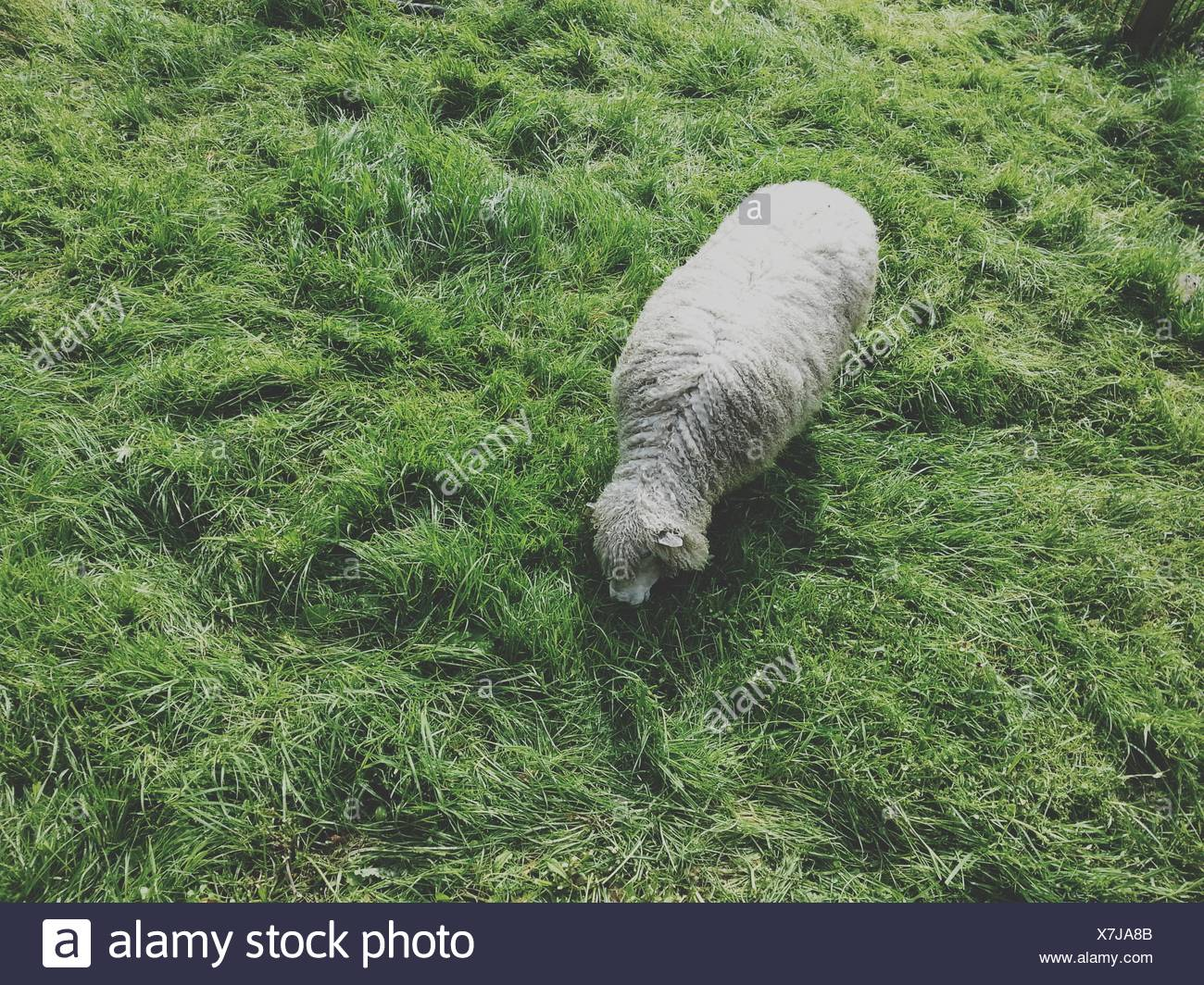 Overhead view of a sheep in a field - Stock Image