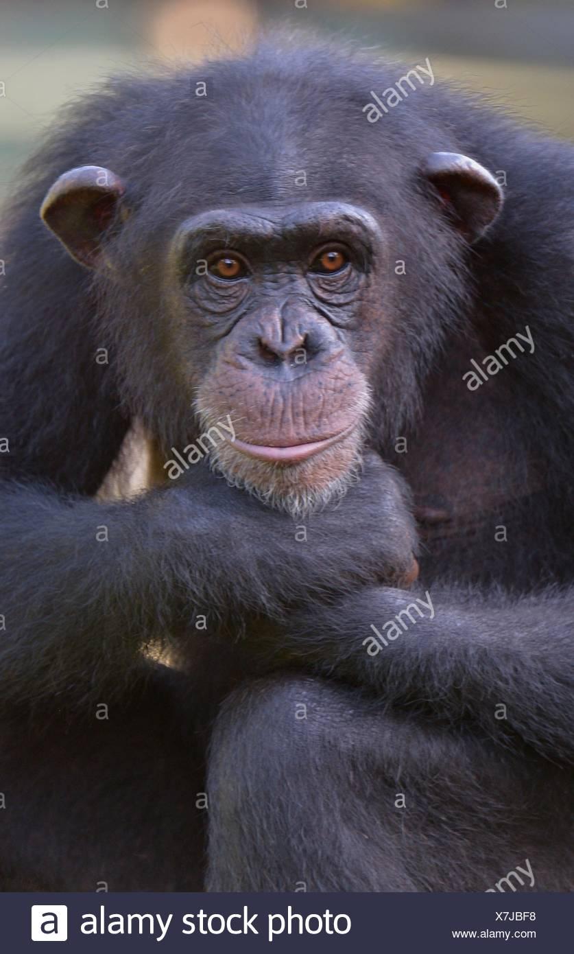 zoology / animals, mammal (mammalia), chimpanzee (Pan troglodyte verus), Tacugama Chimpanzee Sanctuary, Wild West Area peninsula Forest reserve, near Freetown, Sierra Leone, Africa, Additional-Rights-Clearance-Info-Not-Available - Stock Image