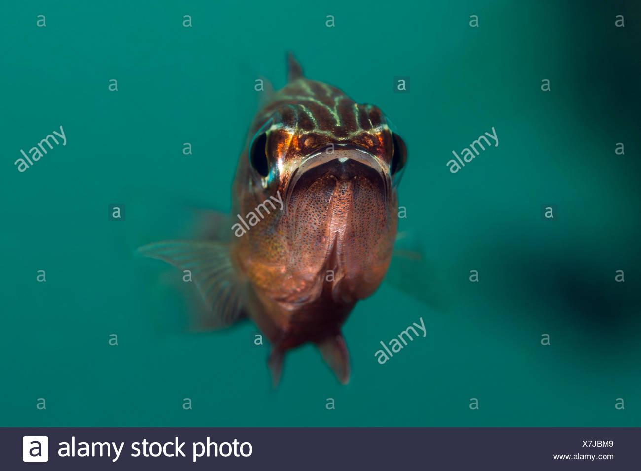 Cardinalfish, Apogon sp., Sumbawa, Indonesia - Stock Image