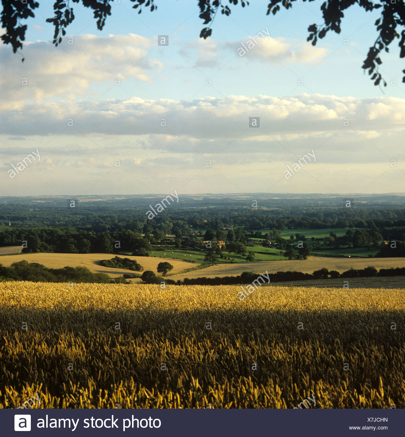 Farmland trees and a ripe wheat crop in warm summer evening light Berkshire - Stock Image