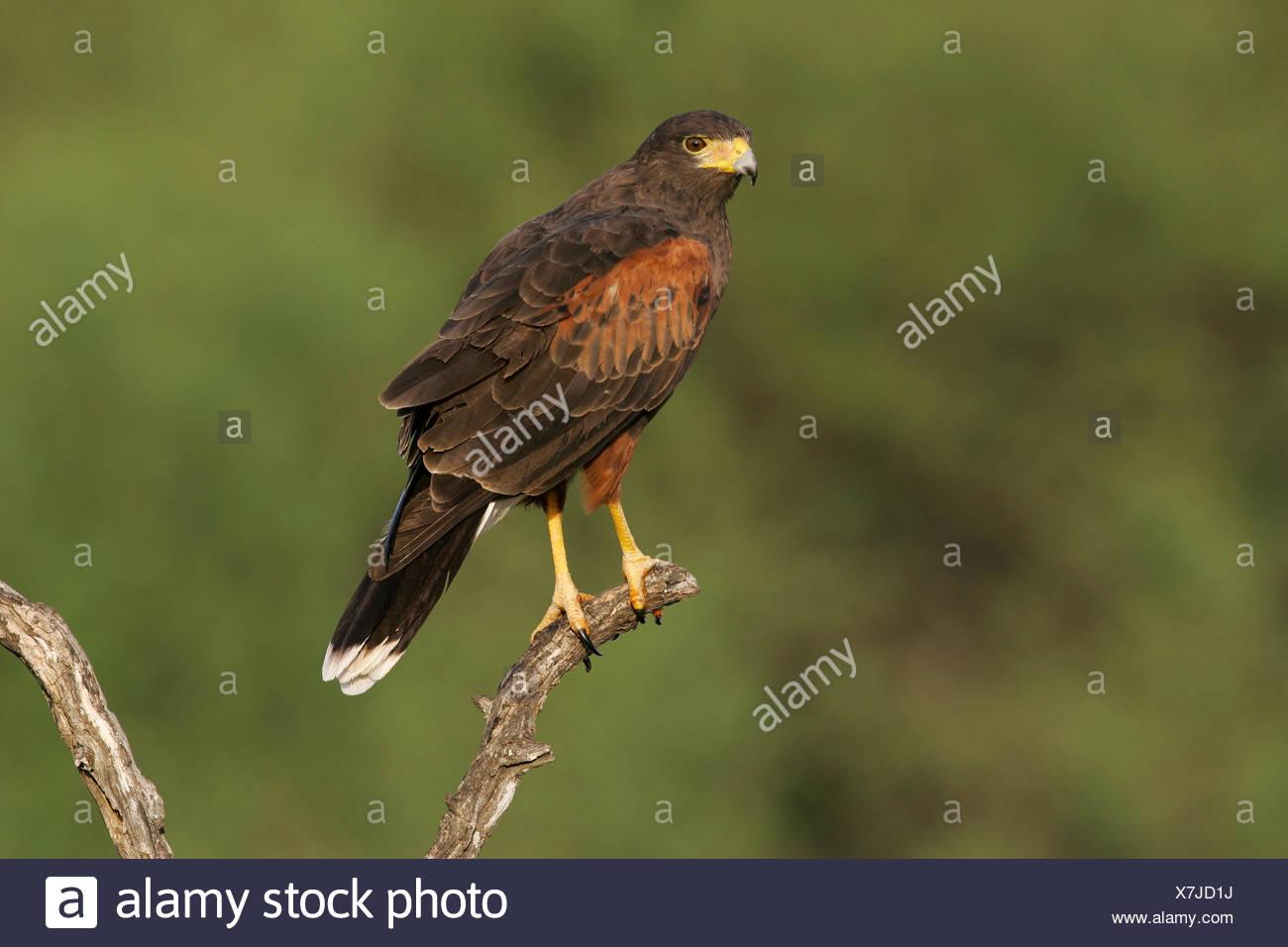 Harris's Hawk - Parabuteo unicinctus - adult - Stock Image