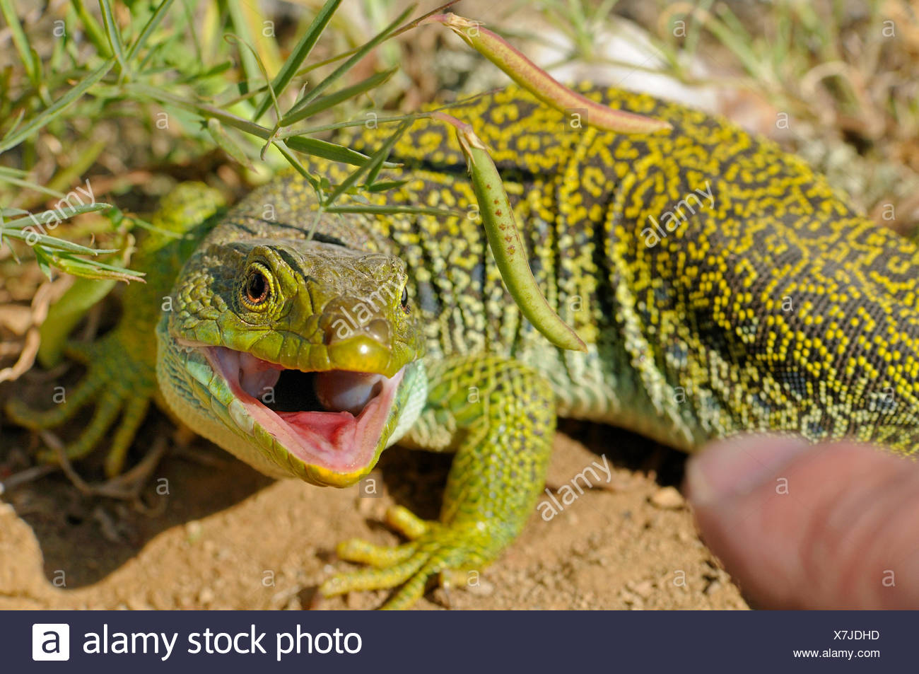 ocellated lizard, ocellated green lizard, eyed lizard, jewelled lizard (Lacerta lepida), lizard being teased with a finger is threatening by snarling, Spain, Extremadura - Stock Image