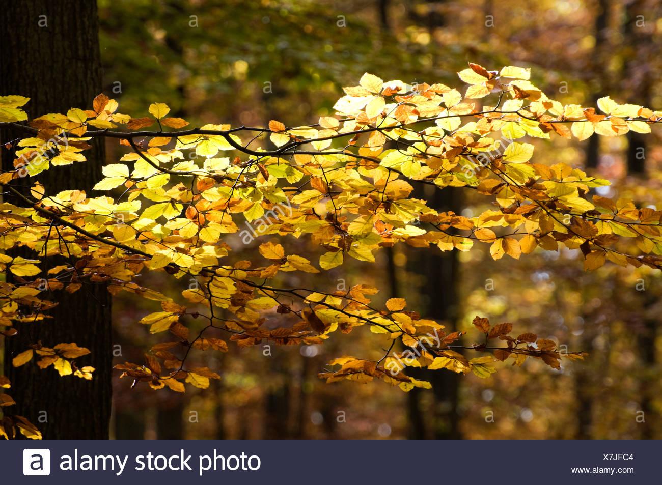 Beech foliage - Stock Image