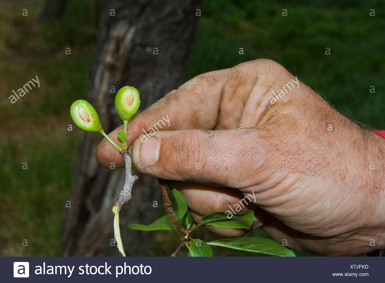 The hand of a prune grower holding damaged immature prunes caused by a heavy unusual Spring freeze / Red Bluff, California, USA. - Stock Image