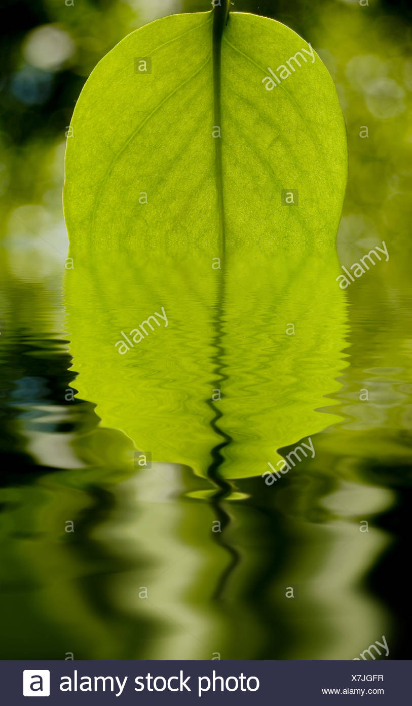 Leaf and water - Stock Image