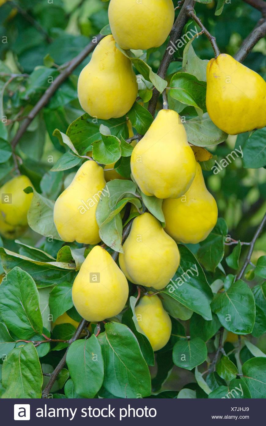 common quince (Cydonia oblonga 'Champion', Cydonia oblonga Champion), quinces of cultivar Champion on a tree - Stock Image
