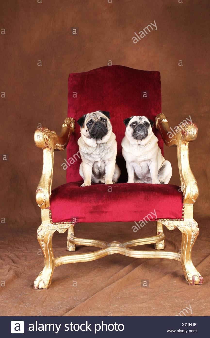 pugs - Stock Image