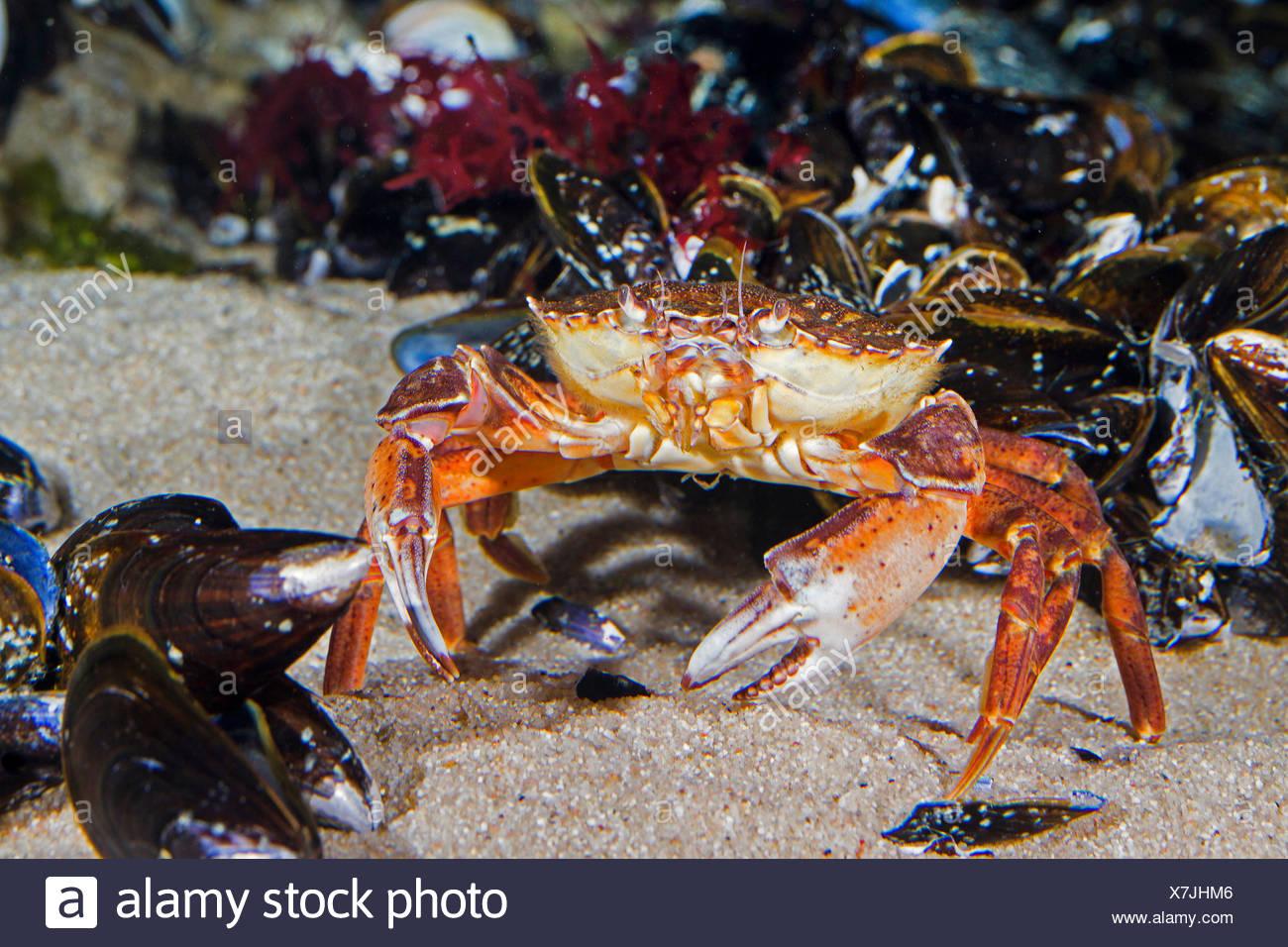 Green shore crab, Green crab, North Atlantic shore crab (Carcinus maenas), on the beach - Stock Image