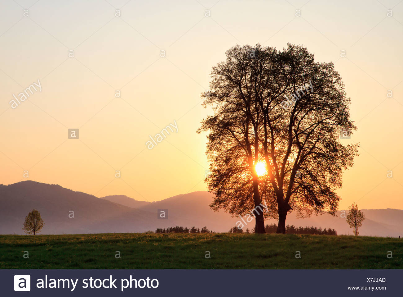 Germany, Bavaria, View of broad leaved tree at sunrise - Stock Image