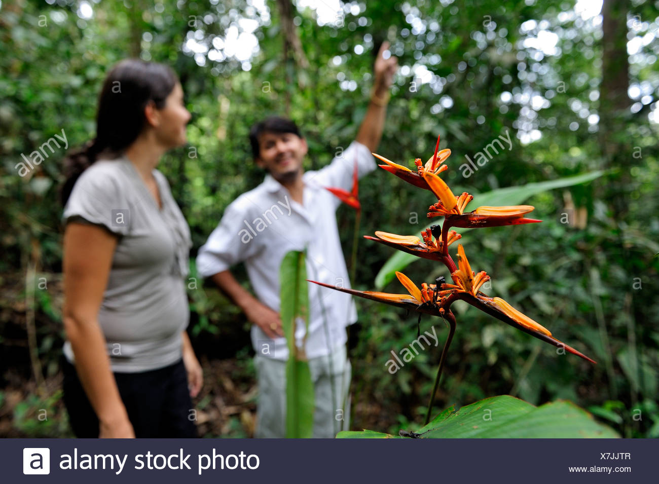 Forestry experts in the Amazon rainforest, a flowering heliconia (Heliconia), Belem, state of Para, Brazil, South America - Stock Image