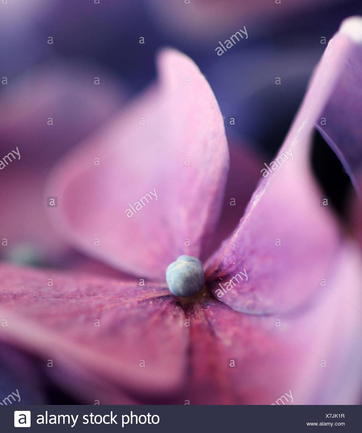 hydrangea,hydrangeas - Stock Image