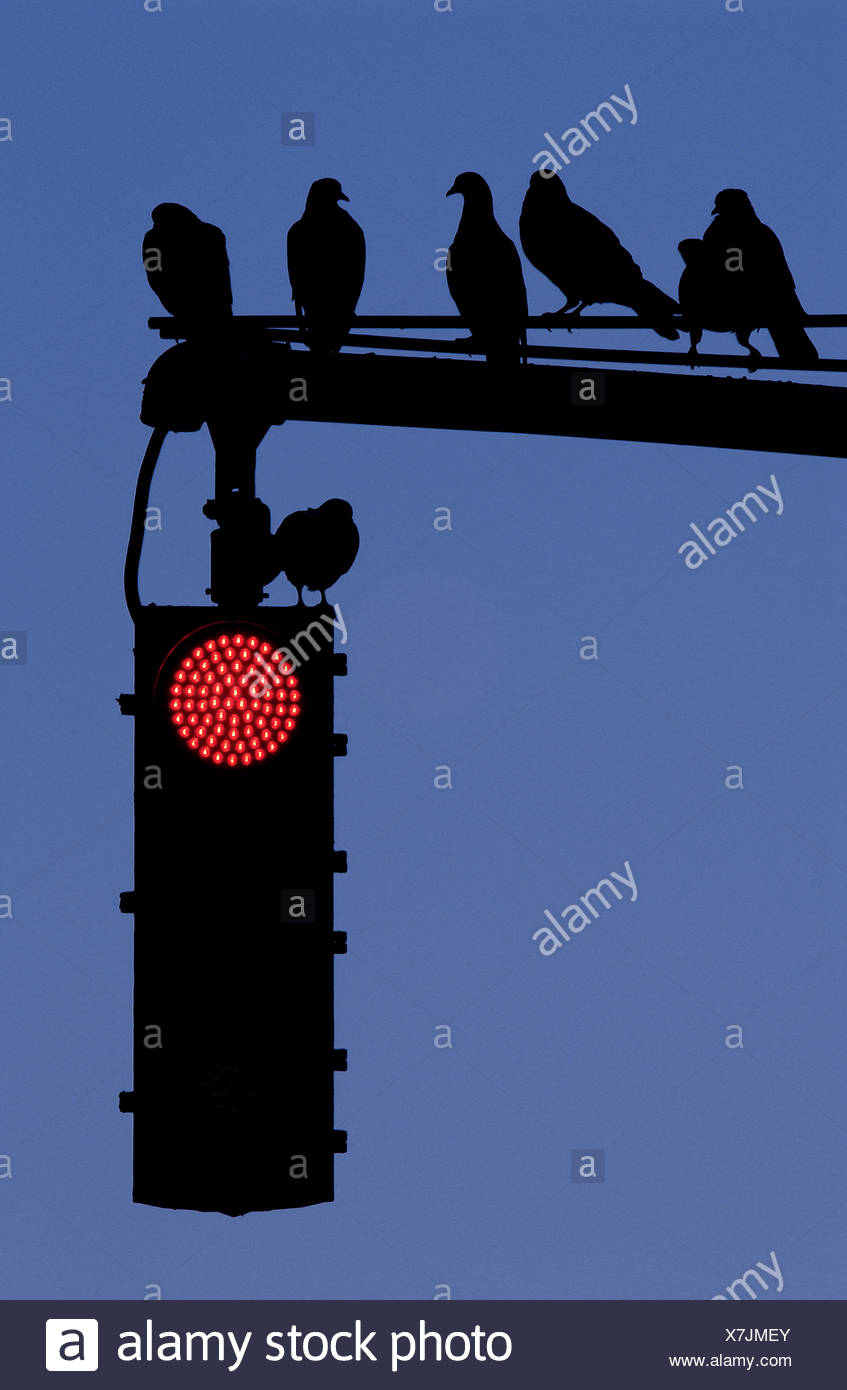 Silhouette of pigeons on stoplight, low angle view - Stock Image