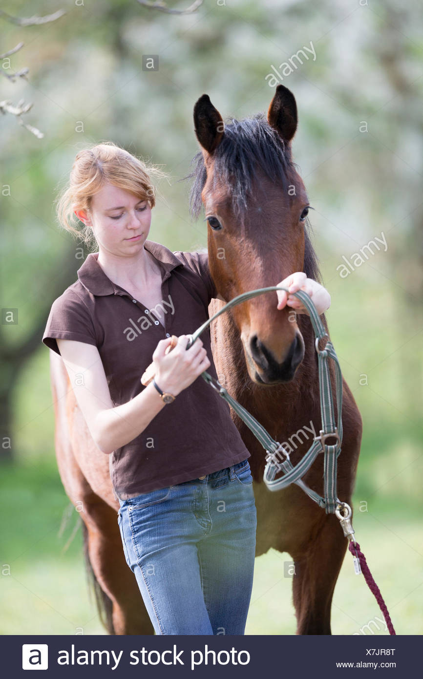 American Quarter Horse Woman putting halter yooung horse Sequence 2 5 - Stock Image