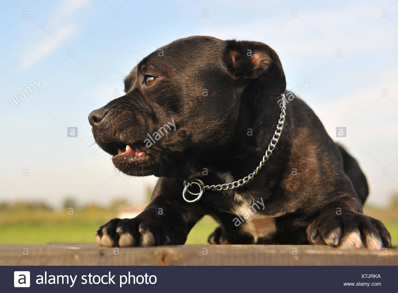 bull lie lying lies dog down terrier beautiful beauteously nice animal pet - Stock Image