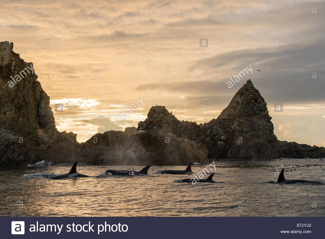 A pod of transient killer whales, Orcinus orca, surround the second largest haulout of Steller Sea Lions in the Northeast Pacific. - Stock Image