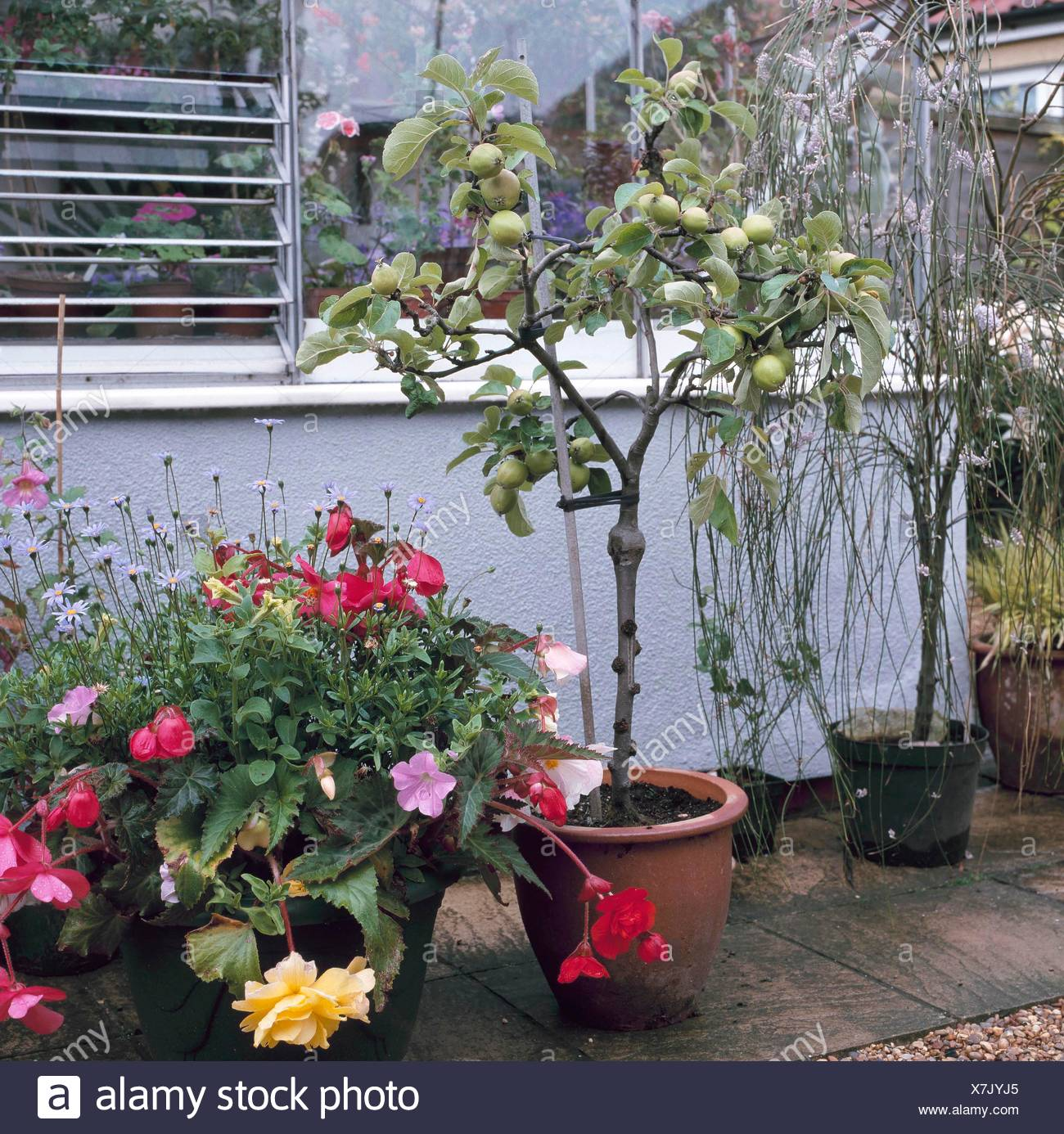 Container Fruit Planted With An Apple Tree Ctr083991 Stock Photo Alamy
