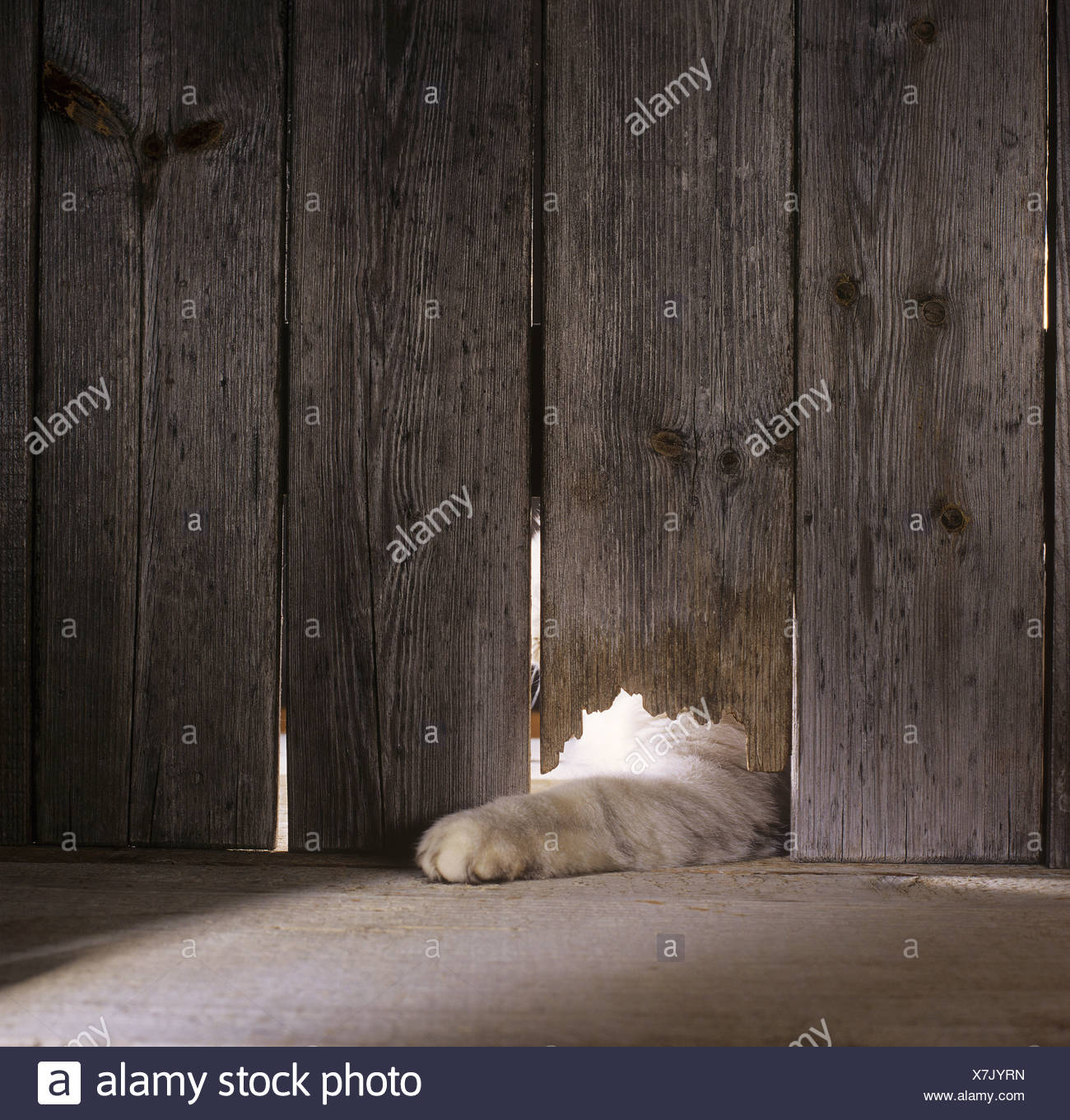 cat in woodshed - Stock Image