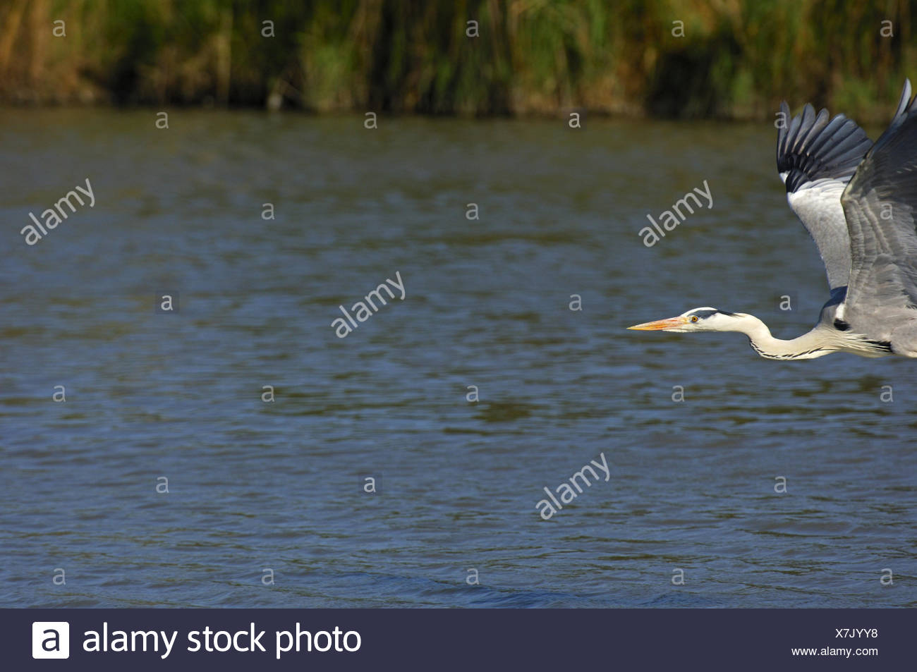 Flying Grey Heron,  copy-space on the right side - Stock Image