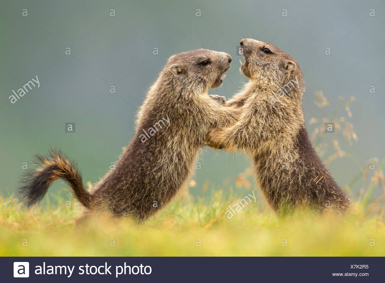 alpine marmot (Marmota marmota), two romping young animals, Austria, Kaernten, Hohe Tauern National Park, Grossglockner Stock Photo