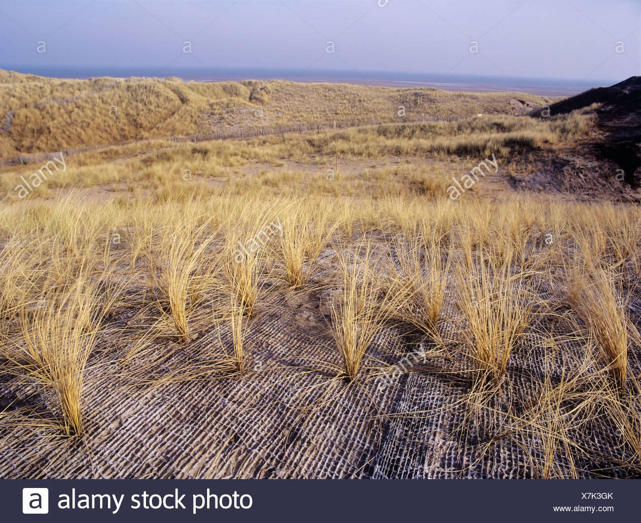 Marram Grass - Stock Image
