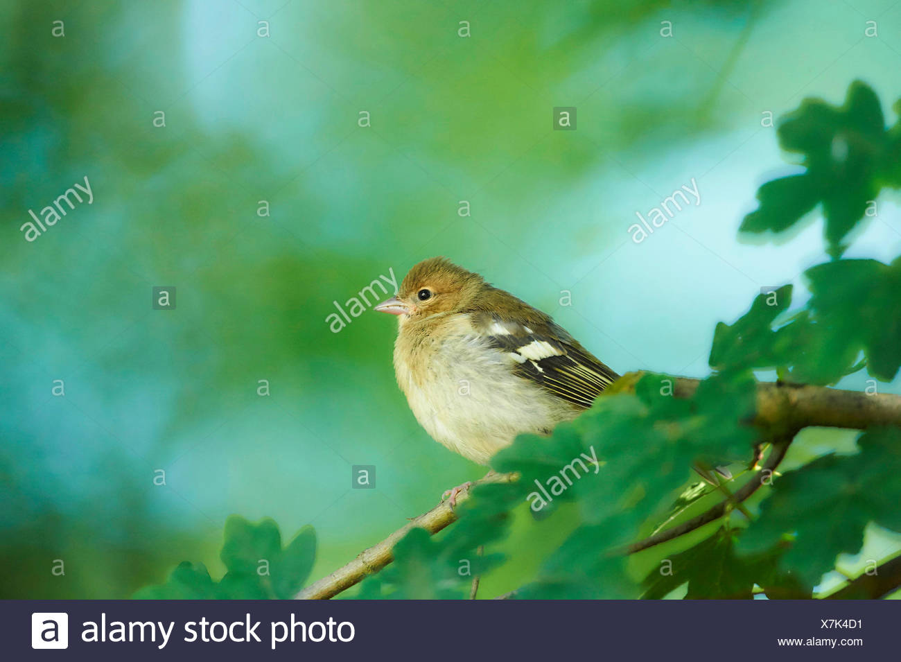 chaffinch (Fringilla coelebs), juvenile on a twig, Germany, Bavaria - Stock Image