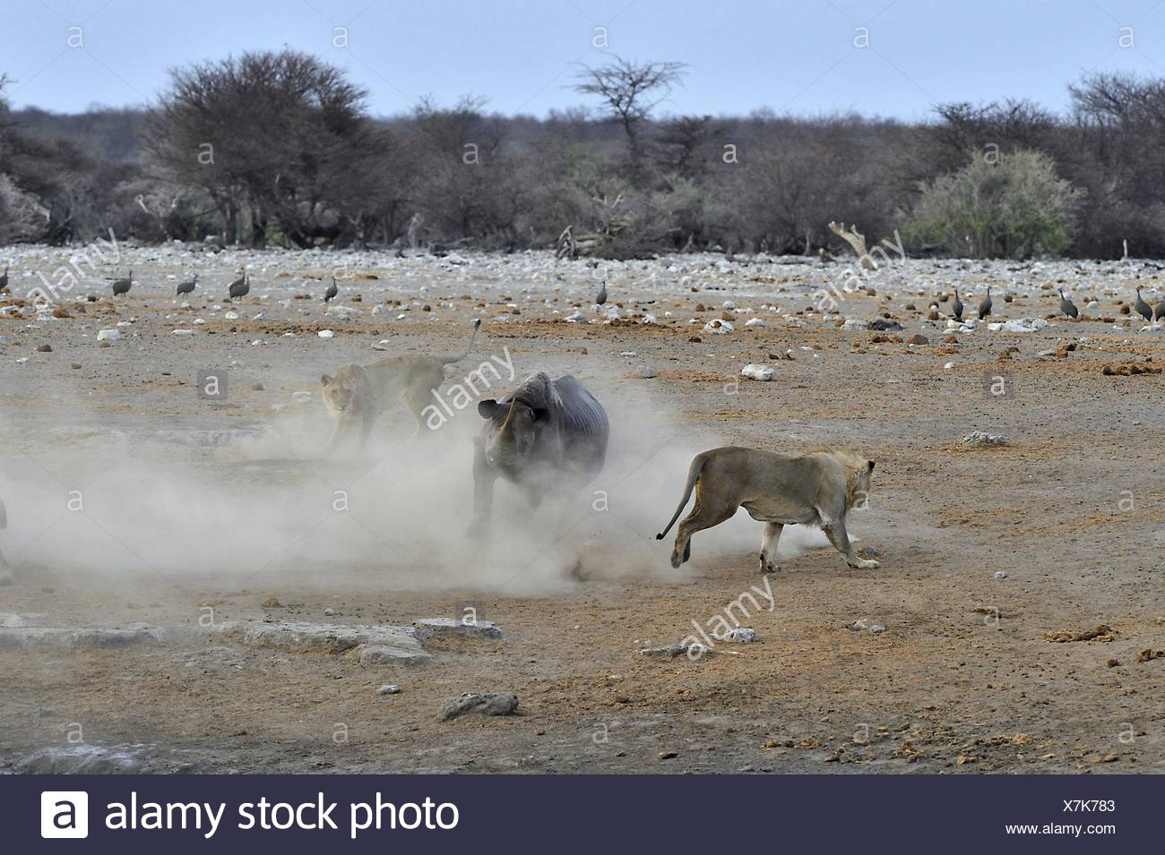 This Black Rhino has stumbled into a cavity and tipped into the water point. After many difficulties given the apic submerged Stock Photo