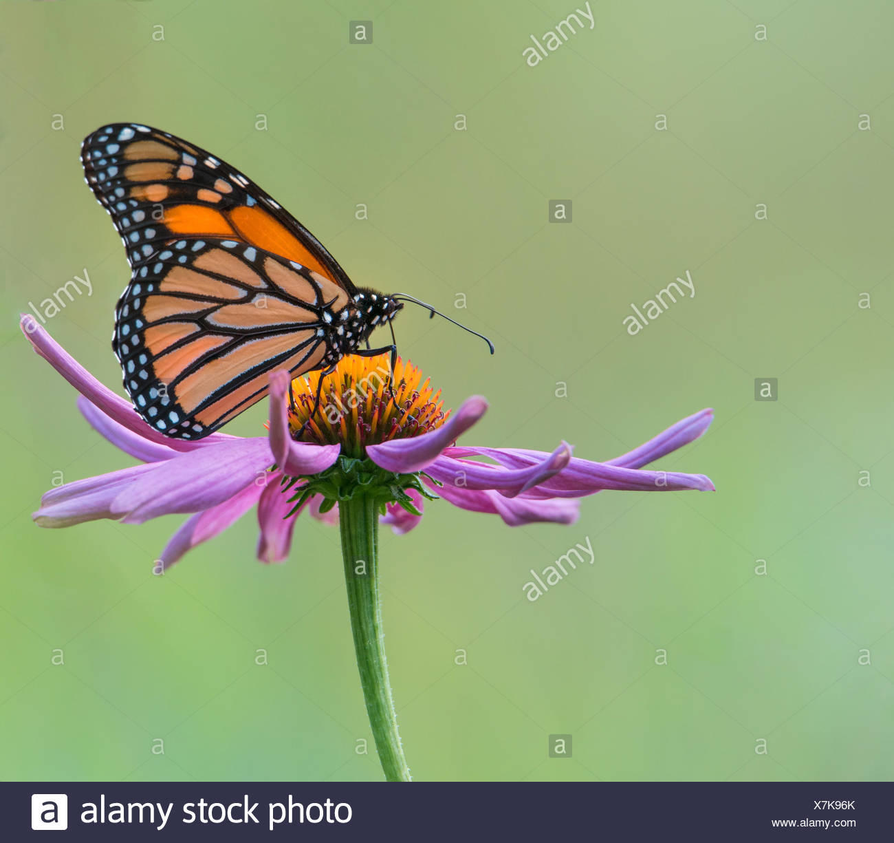 Monarch Butterfly  on a purple cone flower, Ontario, Canada - Stock Image