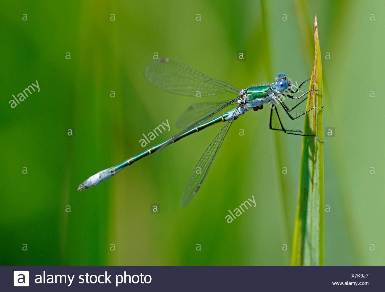scarce emerald damselfly (Lestes dryas), on blade of grass, Germany - Stock Image