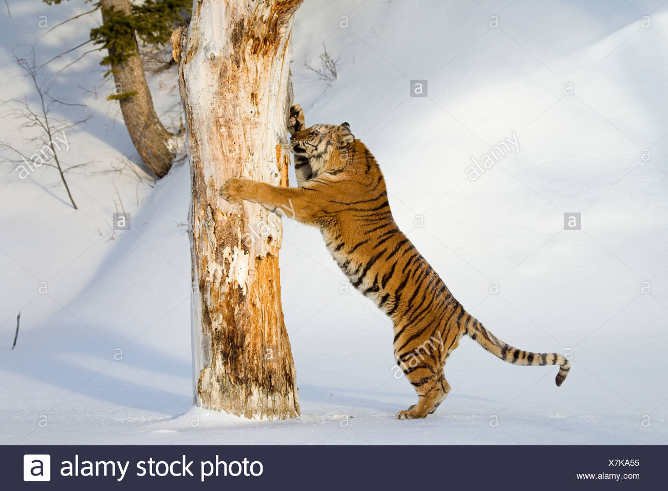 Siberian Tiger (Panthera tigris altaica) adult male, scratching tree trunk in snow, winter (captive) - Stock Image