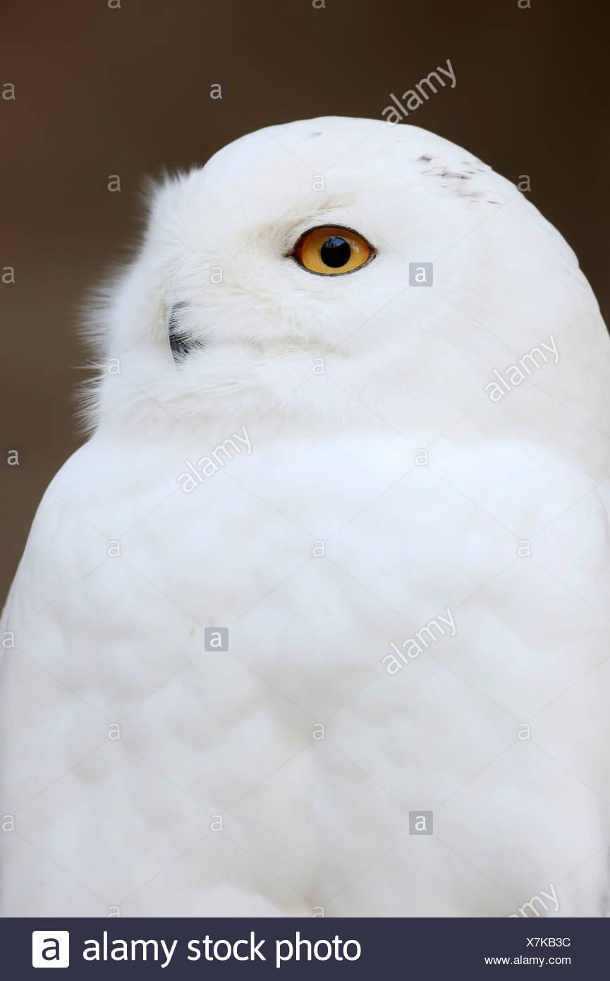 Snowy Owl (Bubo scandiacus, Bubo scandiaca, Nyctea scandiaca