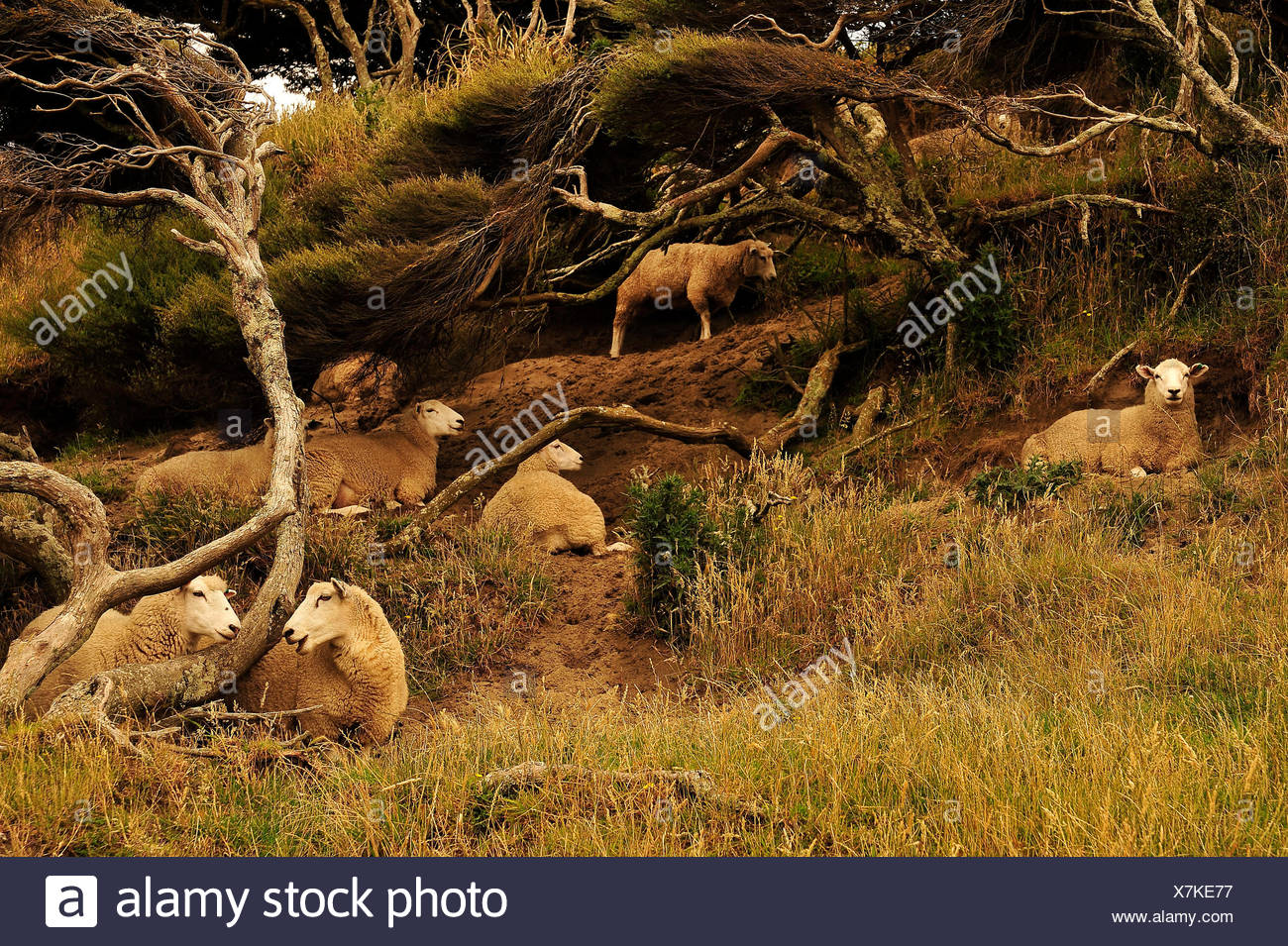 A group of sheep in the pastureland New Zealand is active with are lazy, gossip and digest occupied. - Stock Image