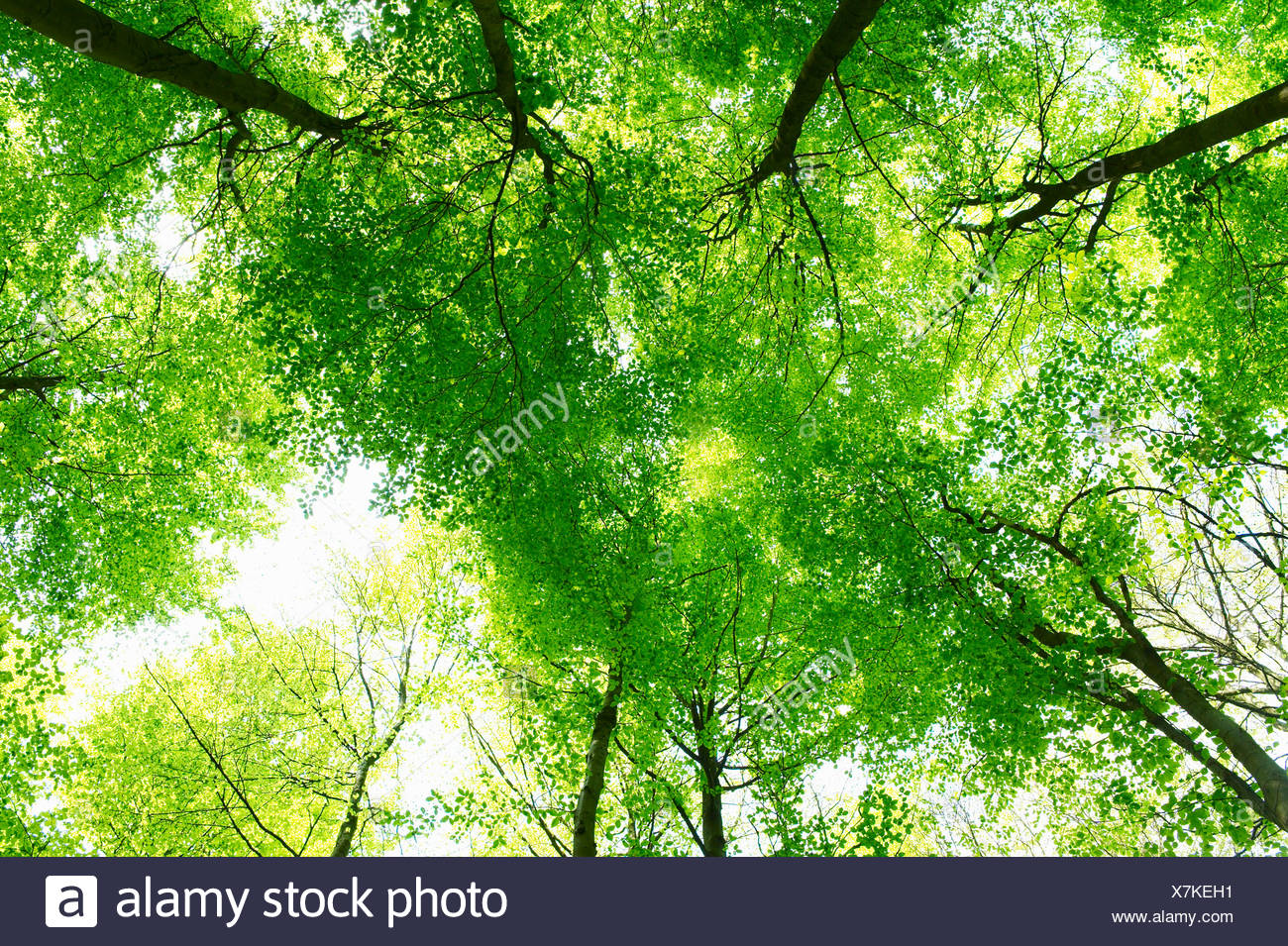Trees, shot from below - Stock Image