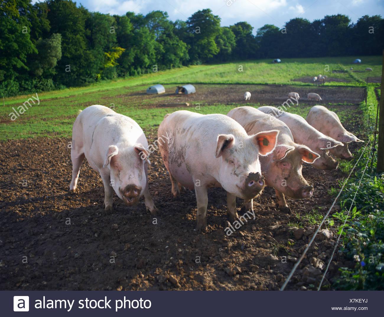 Pigs rooting in dirt field - Stock Image