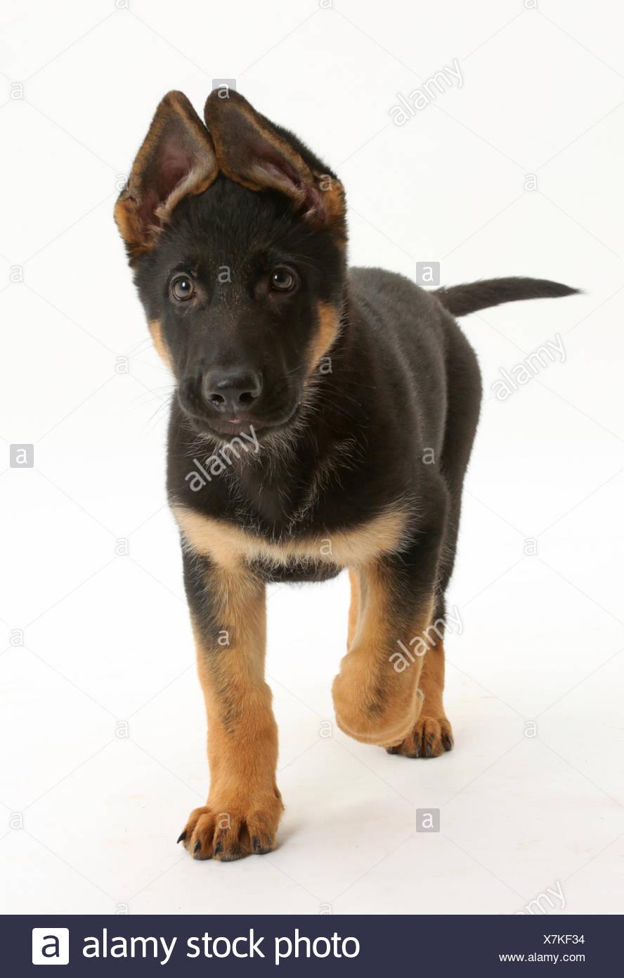 German Shepherd Dog puppy, age 8 weeks, walking. - Stock Image
