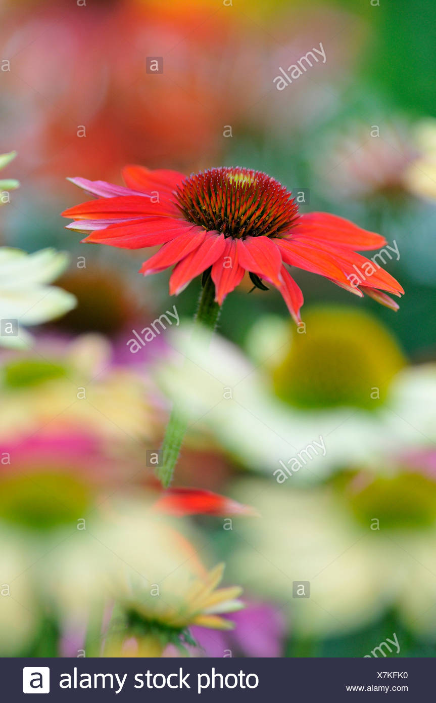 Coneflower (Echinacea sp.), hybrid, variety Hot Summer, North Rhine-Westphalia, Germany - Stock Image