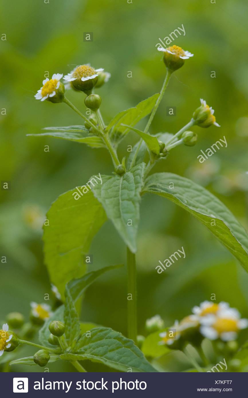 gallant soldier, galinsoga parviflora - Stock Image