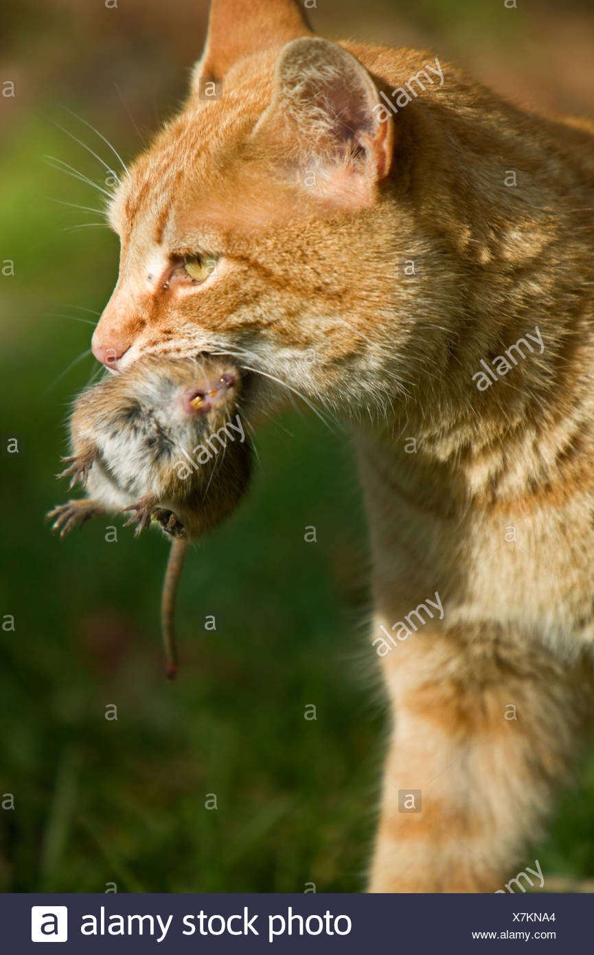 A cat with a mouse in the mouth Stock Photo