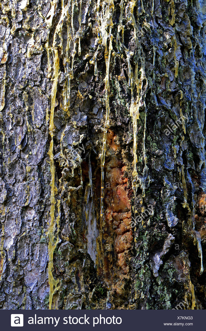 Common Spruce, Norway Spruce (Picea abies) trunk with resin flux Stock Photo