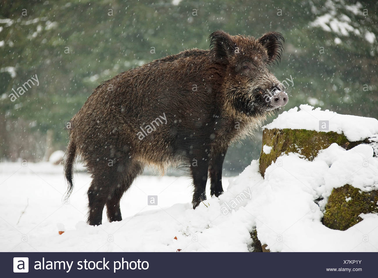 Wild Boar - standing in the snow / Sus scrofa - Stock Image