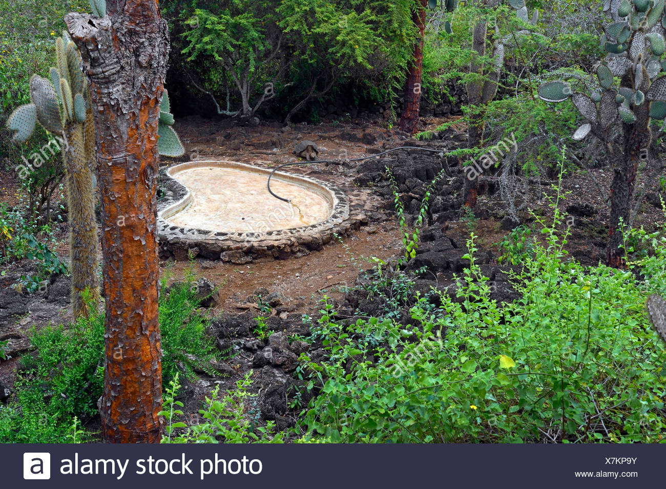 Pinta-Riesenschildkroete, Pintariesenschildkroete, Pinta-Galapagosschildkroete, Pintagalapagosschildkroete (Chelonodis nigra abi - Stock Image